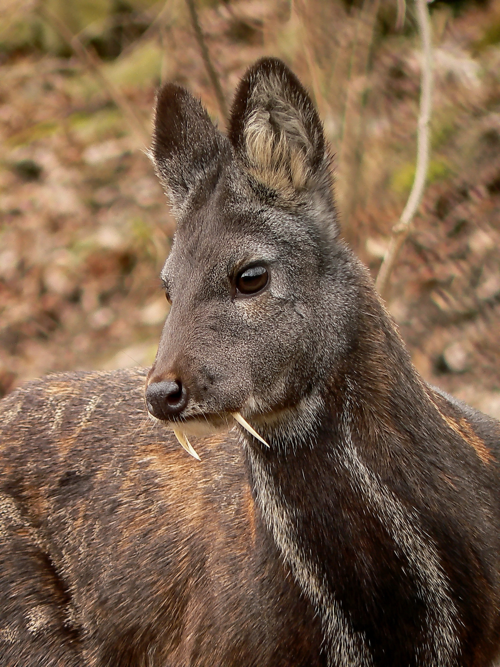 Moschus_moschiferus_in_Plzen_zoo_(12.02.2011)